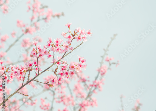 Soft focus Cherry Blossom or Sakura flower on nature background Poster