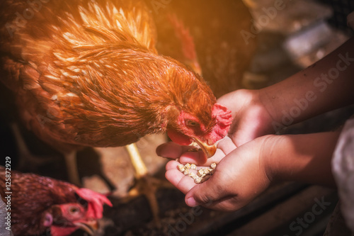 child provide to feeding chickens at hen house in countryside morning