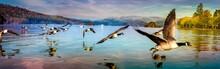 Flock Of Duck In Windermere