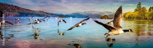 Fotografia Flock of Duck in Windermere