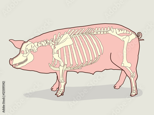 Pig Skeleton Vector Illustration. Pig Skeleton Anatomy. Pig Skeleton ...