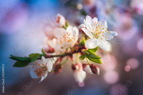 Obraz Kwitnące drzewo owocowe podczas wiosny - fototapety do salonu