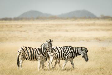 Fototapeta na wymiar Herd of Zebras grazing in the bush. Wildlife Safari in the Etosha National Park, top travel destination in Namibia, Africa. Toned desaturated image, vintage old retro style.