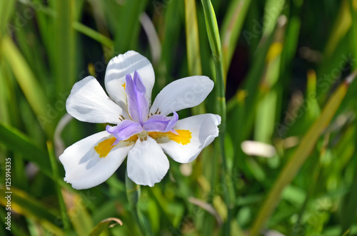 Large Wild iris or Fairy Iris, Dietes grandiflora, growing in an Australian garden