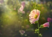 Beautiful Pink Hollyhock Bloss...