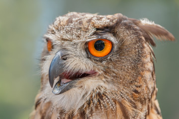 Close-up of mighty owl
