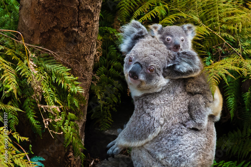 In de dag Koala Australian koala bear native animal with baby