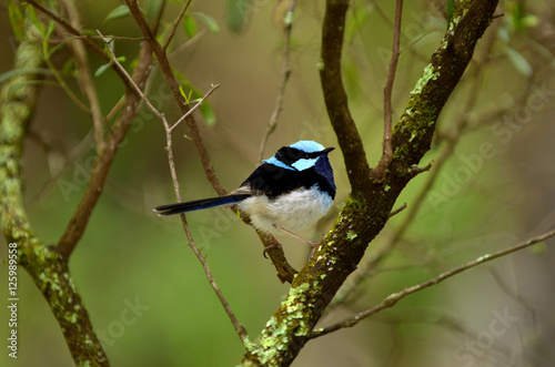 Fotografie, Obraz  Superb fairywren