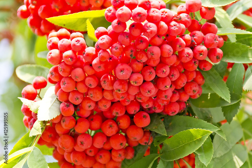 Fotografie, Obraz  Rowanberry branch in summer day