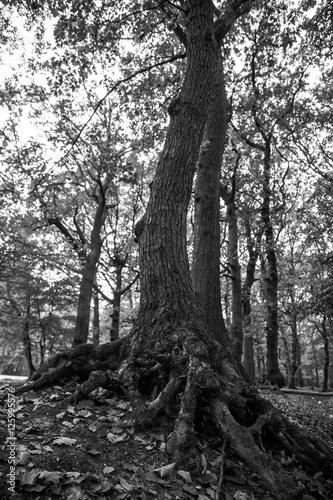 odsloniete-korzenie-drzewa