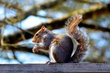 Squirrel Eating A Peanut