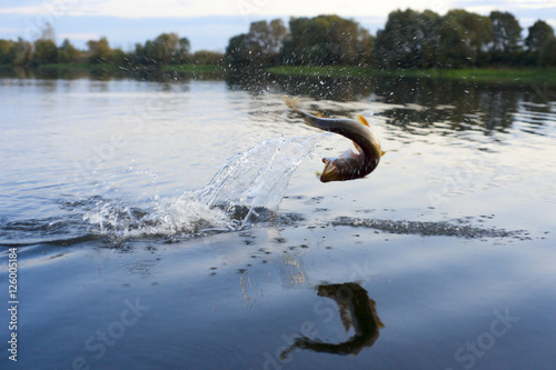 Fotografie, Obraz  Pike on hook jumping out of water