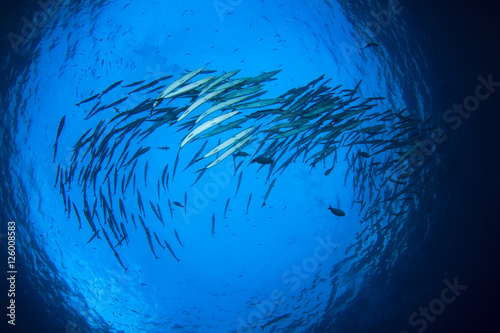 Barracuda fish school in ocean Canvas Print