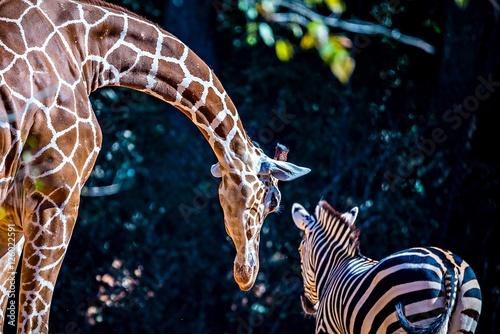 In de dag Zebra giraffe stretches down to say hi to zebra friend