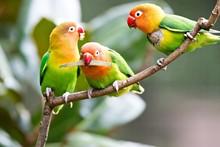 Colorful Yellow Parrot Sun Conure (Aratinga Solstitialis) Standi