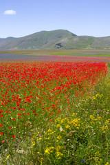 Fototapeta campo di lenticchie a Castelluccio Italia