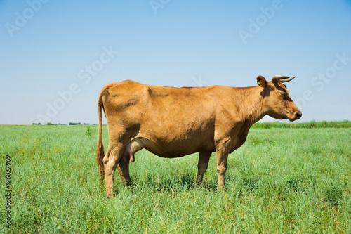 Garden Poster Cow Herd of cows grazing