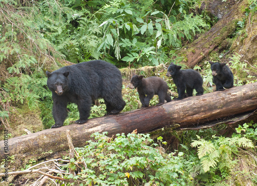 Mama Bear and Three Cubs, Anan Creek