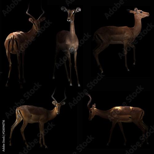 Poster Antilope impala hiding in the dark