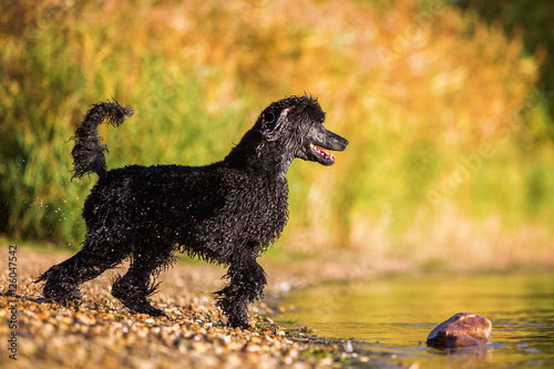 royal poodle running in the water