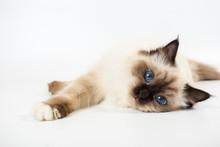 Beautiful Cat In Studio Close-up, Luxury Cat, Studio Photo, White Background, Isolated.
