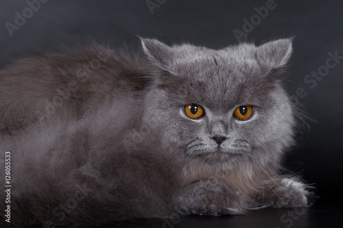 Poster Croquis dessinés à la main des animaux British Longhair on a white background in the studio, isolated, orange eyes, gray cat