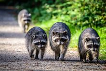 Raccoon Gang Family Walk On Th...