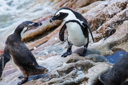 Penguin colony Betty's Bay