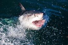 Feeding A Great White Shark