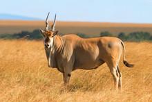 Eland Antelope In Grass During...