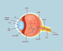 Human Eye Color Structure Anatomy Scheme. Vector Flat Cartoon Illustration