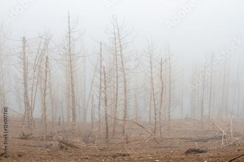 Pinos secos y niebla. © LFRabanedo
