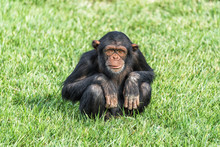 A Young Chimpanzee Sitting On ...