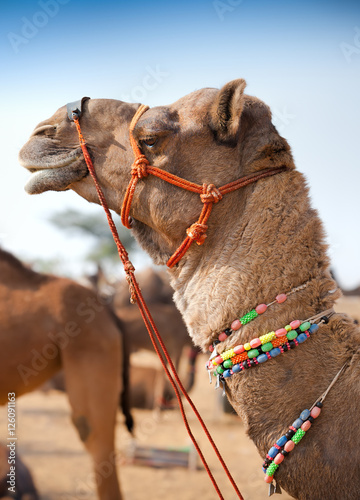 Photo  Decorated camel at the Pushkar fair. Rajasthan, India