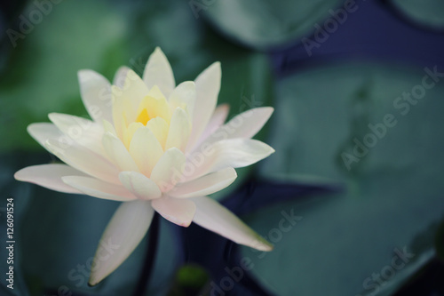Garden Poster Lotus flower Lotus flower in close up