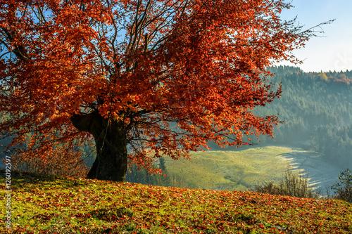 Foto auf Gartenposter Wald red tree in front of spruce forest in fog