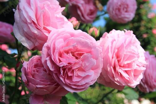 In de dag Candy roze バラの花