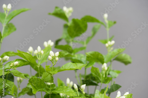 Poster Muguet de mai Jasmine flowers and tree over grey background,soft focus