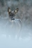 Roe deer in snowfall - 126106582