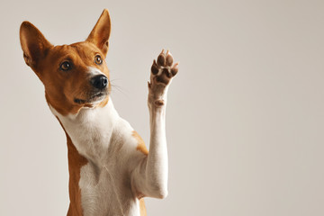 Fototapeta Pies Adorable brown and white basenji dog smiling and giving a high five isolated on white