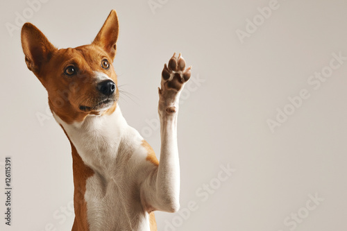 Poster Hond Adorable brown and white basenji dog smiling and giving a high five isolated on white
