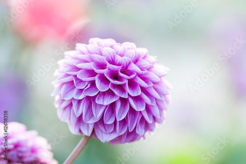 Stampa su Tela Purple dahlia close-up