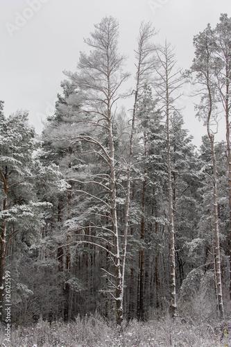 Fotografia, Obraz  snowy forest