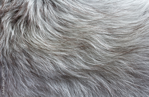 Fotografiet gray fluffy fur with long pile texture for background