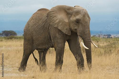 Garden Poster Elephant matriarch