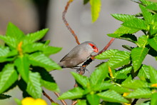 Red-browed Finch, Exotic Bird,...