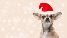 Cute Chihuahua Dog Portrait Fa...