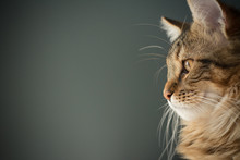 Maine Coon Stares Intently Out...