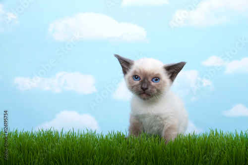 Fotografie, Obraz  One tiny siamese kitten with munchkin traits sitting in grass looking at viewer, dejected look on face