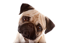Studio Portrait Of A Young Pug